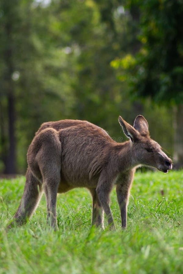 Прелестный взрослый кенгуру, Брисбен, Австралия стоковая фотография rf