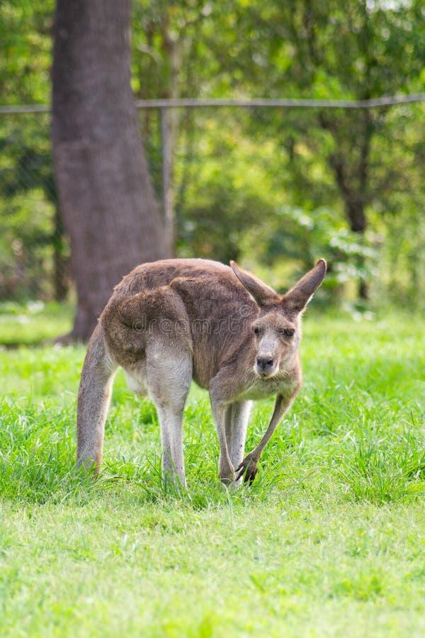 Прелестный взрослый кенгуру, Брисбен, Австралия стоковое изображение