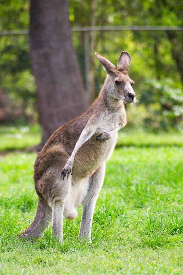 Прелестный взрослый кенгуру, Брисбен, Австралия стоковые фото