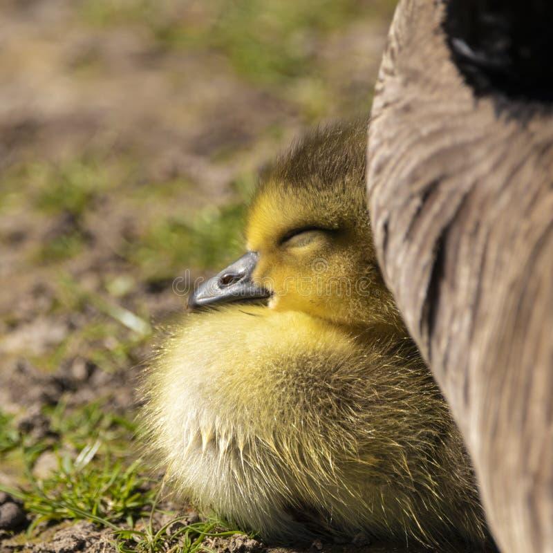 Прелестный гусенок младенца в спать травы стоковые фотографии rf