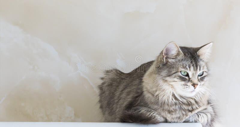 Прелестный длинный с волосами кот сибирской породы Любимец красоты поголовья, hypoallergenic котенка стоковая фотография