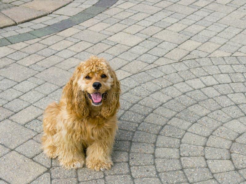 Прелестный золотой щенок spaniel кокерспаниеля на вымощать стоковое фото