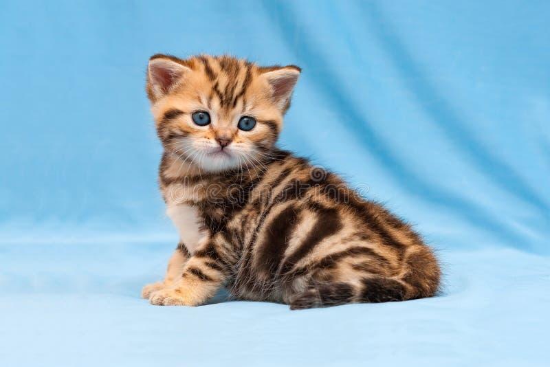 Прелестный котенок tabby сидя на голубой предпосылке, цвете небольшого striped великобританского котенка золотом мраморном стоковые фото