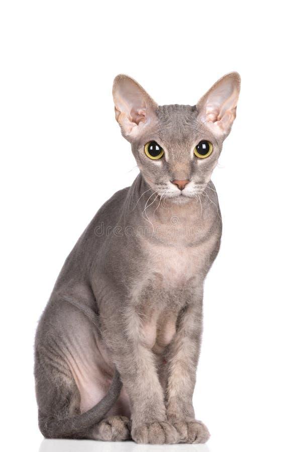 Прелестный кот sphynx представляя на белизне стоковые изображения