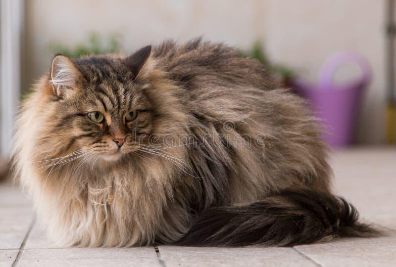 Прелестный любимец сибирского кота поголовья, длинного с волосами hypoallergenic животного стоковое фото rf