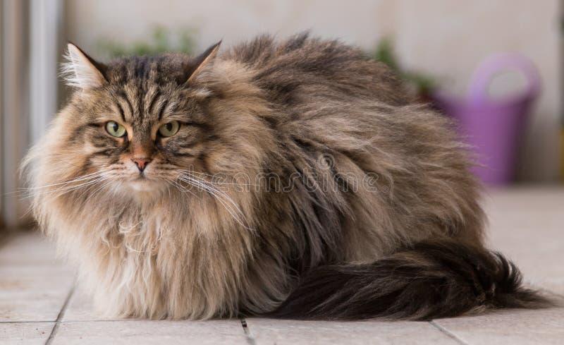 Прелестный любимец сибирского кота поголовья, длинного с волосами hypoallergenic животного стоковые фотографии rf