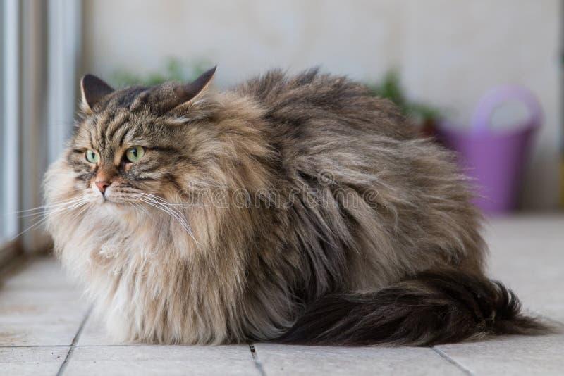 Прелестный любимец сибирского кота поголовья, длинного с волосами hypoallergenic животного стоковая фотография