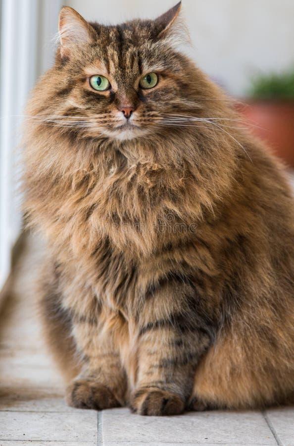 Прелестный любимец сибирского кота поголовья, длинного с волосами hypoallergenic животного стоковые фото