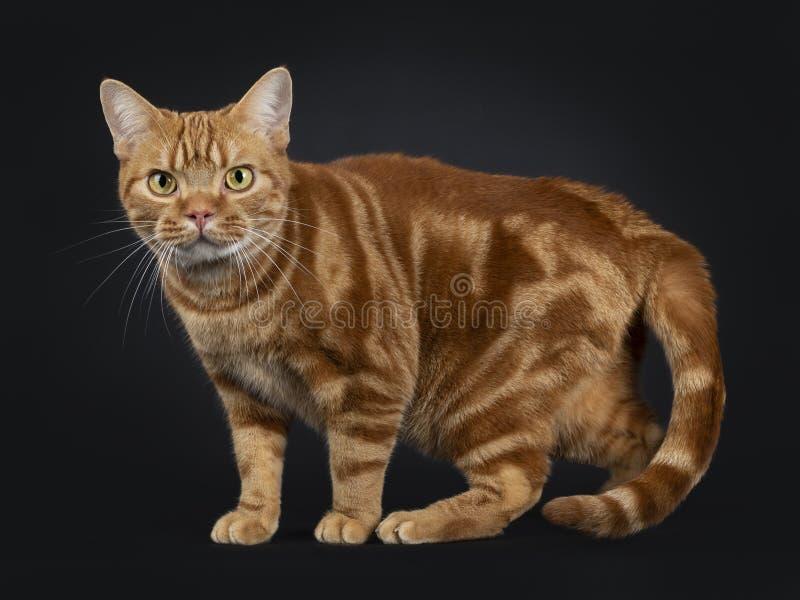 Прелестный молодой взрослый красный кот Shorthair американца tabby, изолированный на черной предпосылке стоковые фотографии rf