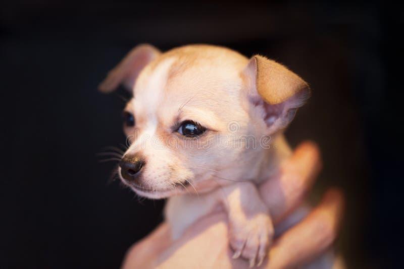 Прелестный портрет крошечного золотого коричневого чихуахуа щенка стоковое изображение rf