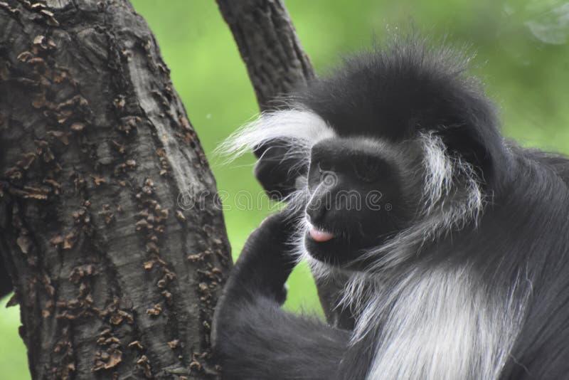 Прелестный розовый язык вставляя вне на обезьяне Colobus стоковые изображения