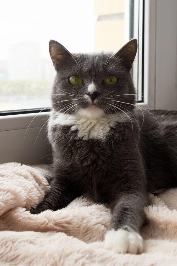 Прелестный сине-белый кот с зелеными глазами лежит близко к окну стоковое изображение