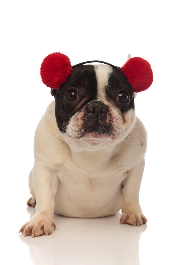 Прелестный французский бульдог нося красные earmuffs смотрит камеру стоковые изображения rf