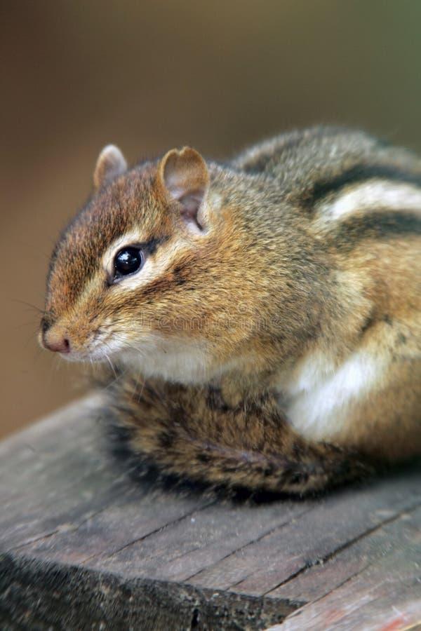 прелестный Chipmunk Стоковое Изображение RF
