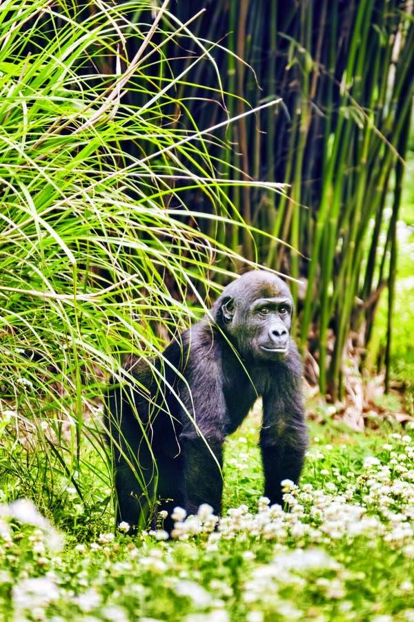 Премудрость гориллы стоковое изображение rf