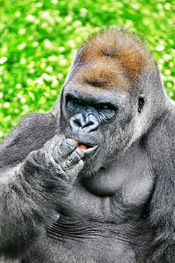Премудрость гориллы стоковое изображение