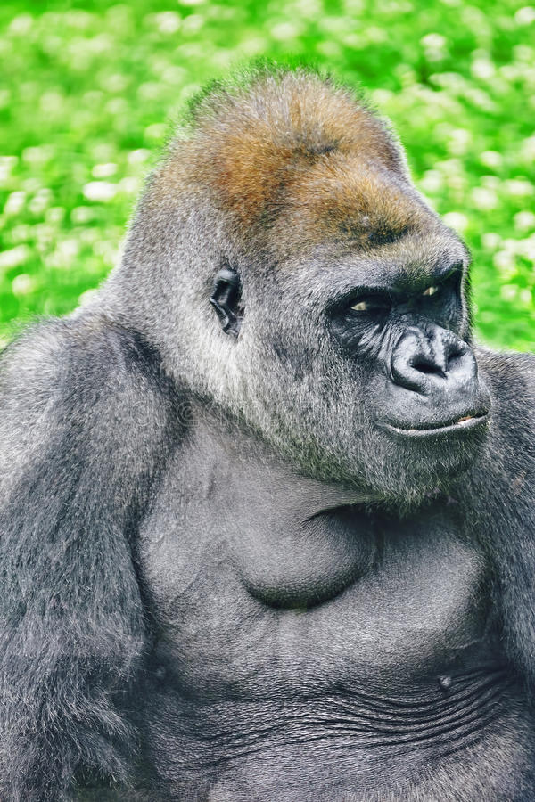 Премудрость гориллы стоковое фото rf