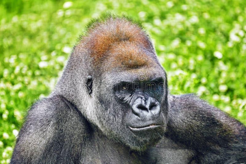 Премудрость гориллы стоковые изображения rf