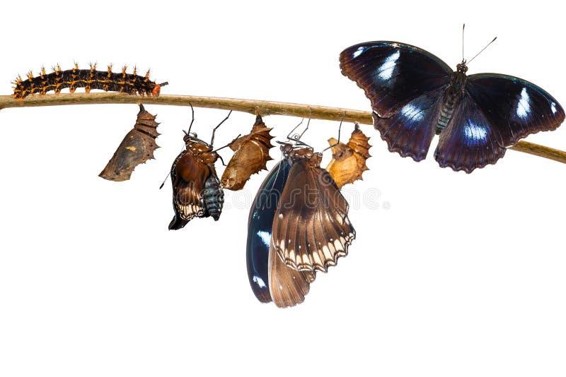 преобразование мужчины от гусеницы к большому eggfly стоковые изображения rf