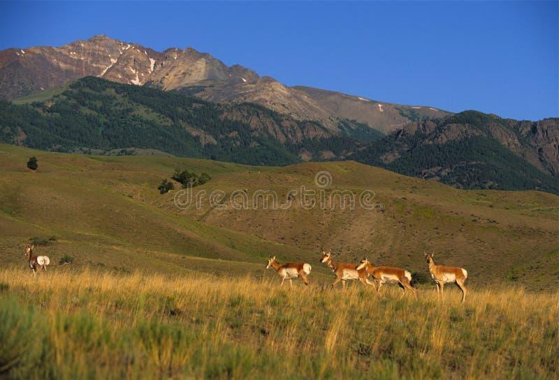 прерия антилопы стоковые изображения rf