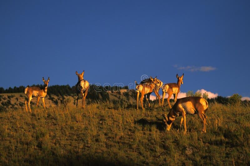 прерия табуна антилопы стоковые изображения
