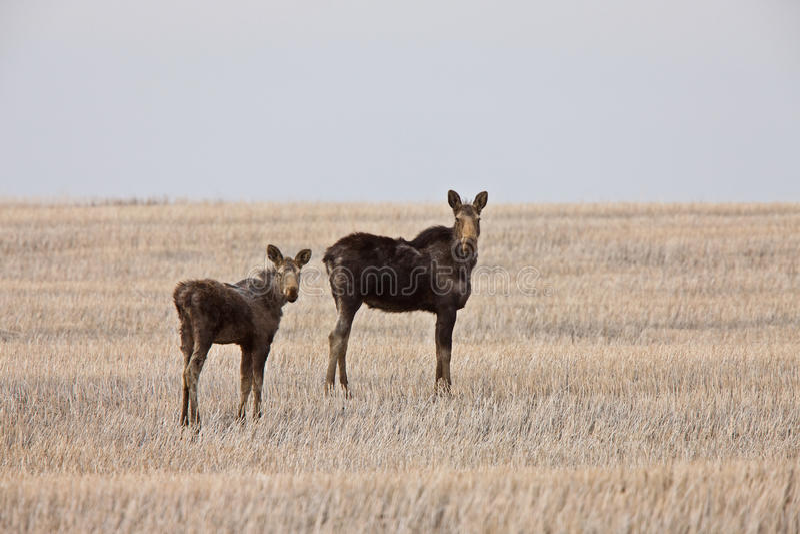прерия saskatchewan лосей коровы Канады икры стоковое фото