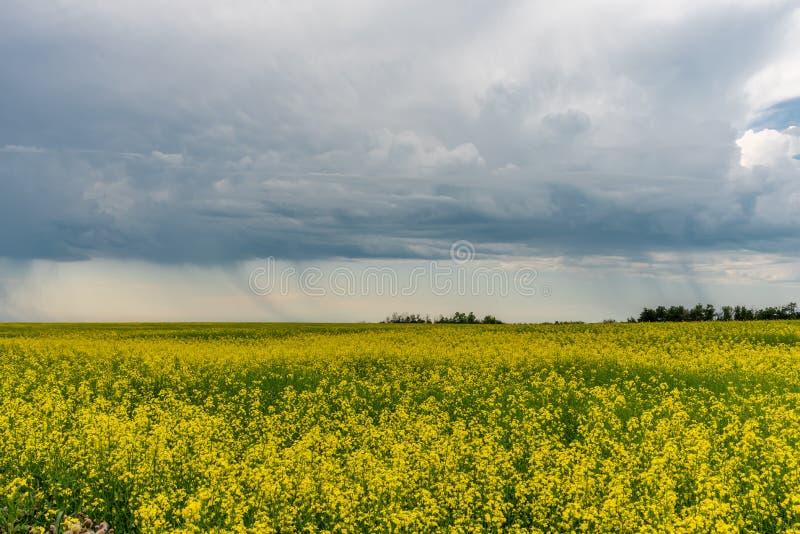 Прери: бури прочесывают поля канолы стоковые изображения