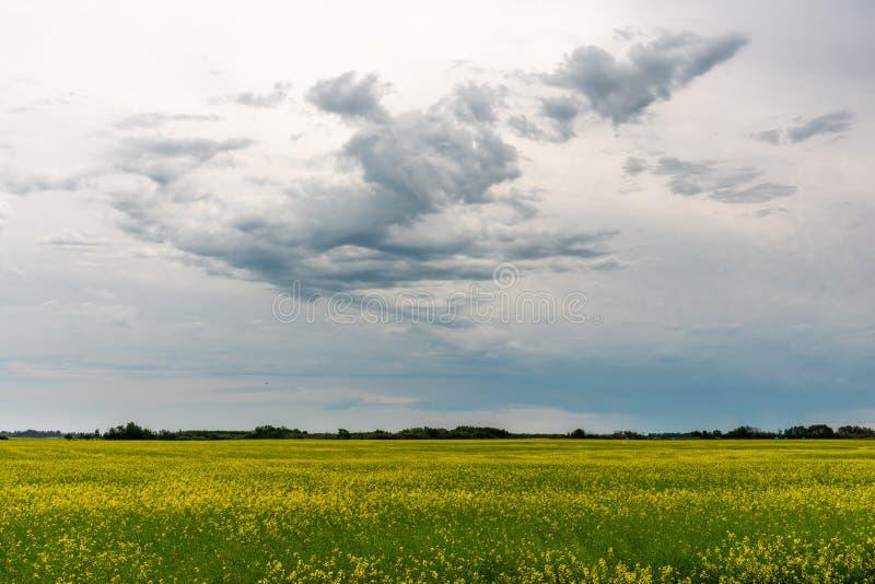 Прери: бури прочесывают поля канолы стоковые изображения rf