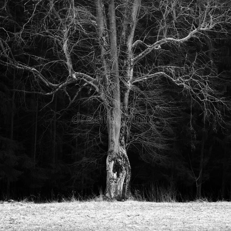 Преследовать дерево в богемском рае в зиме стоковое изображение