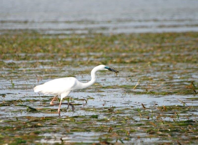 преследовать птицы Balinese Стоковое Фото