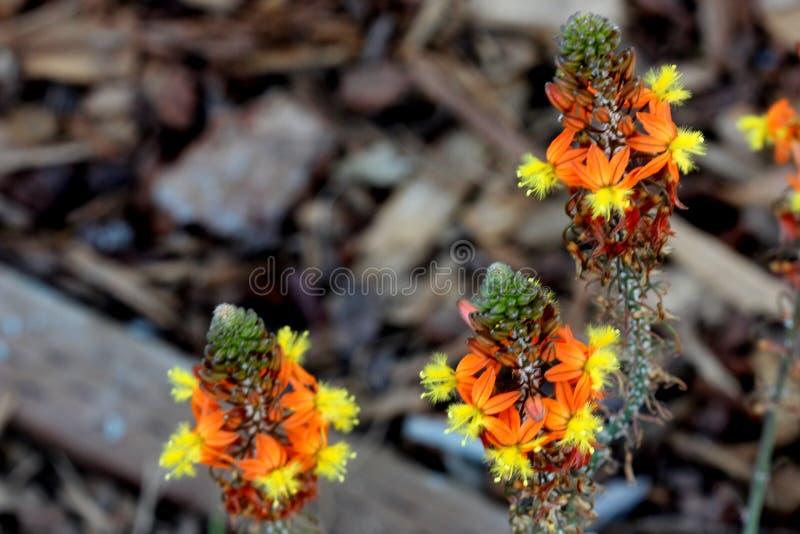 Преследовать bulbine, цветок змейки, завод студня ожога, frutescens Bulbine стоковые изображения rf