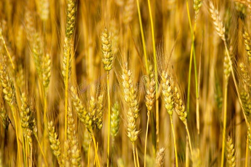 преследует пшеницу стоковые изображения rf