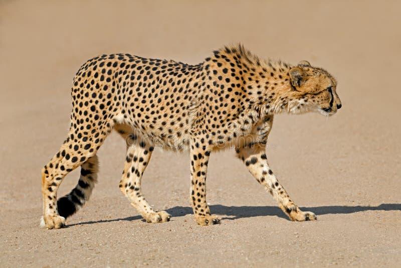 Преследуя гепард - Южная Африка стоковое изображение rf
