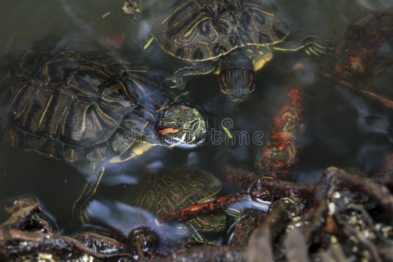 Пресноводные черепахи бродяжничая среди деревьев стоковое фото rf