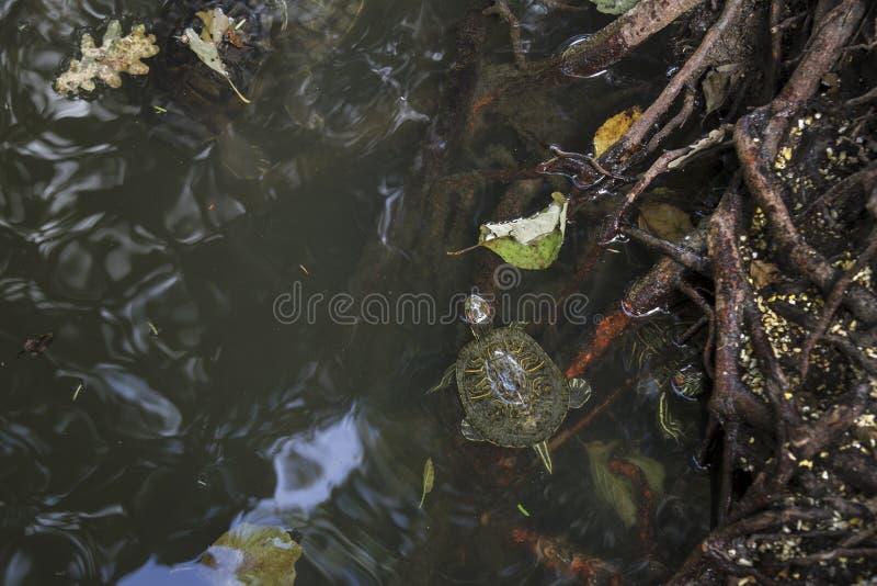 Пресноводные черепахи бродяжничая среди деревьев стоковое изображение