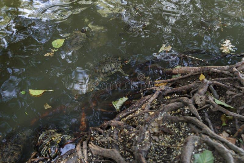 Пресноводные черепахи бродяжничая среди деревьев стоковые изображения