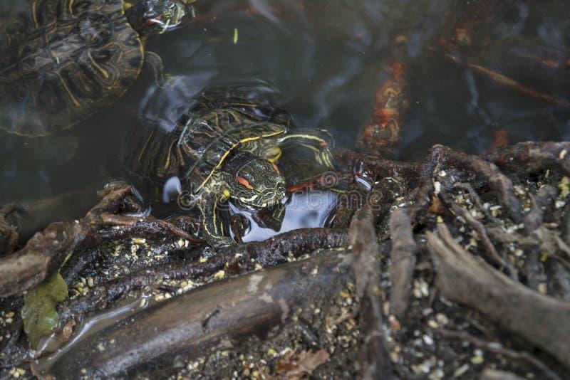 Пресноводные черепахи бродяжничая среди деревьев стоковые фотографии rf