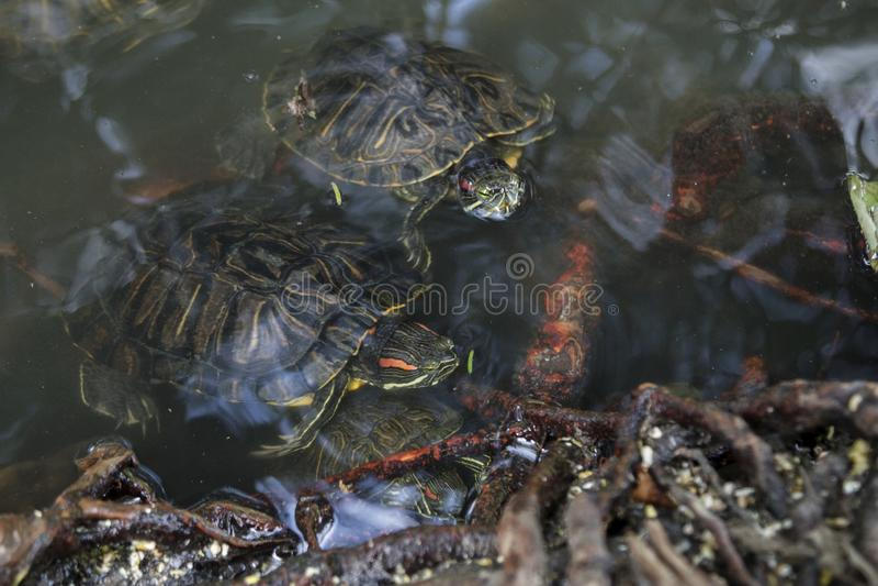 Пресноводные черепахи бродяжничая среди деревьев стоковая фотография rf