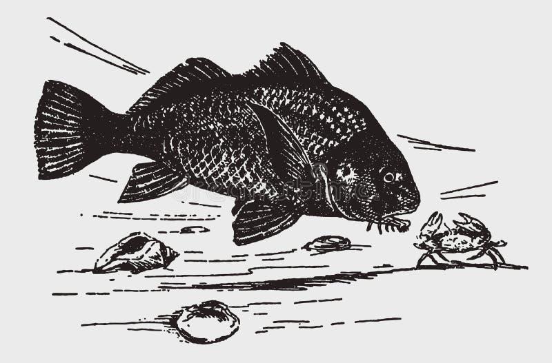 Пресноводные grunniens aplodinotus рыб барабанчика атакуя краба с раскрытыми когтями иллюстрация штока