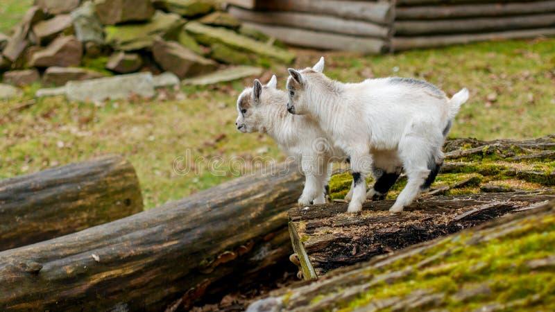Прелестная коза младенца скача вокруг на выгон стоковые фотографии rf