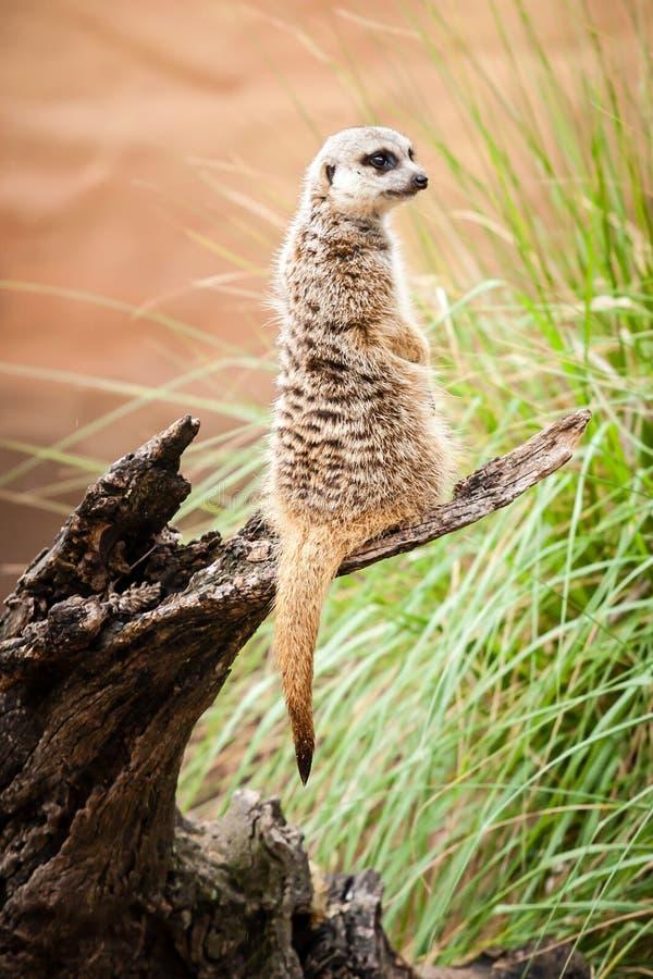 Предохранитель Meerkat Standng на журнале около травы стоковые фотографии rf