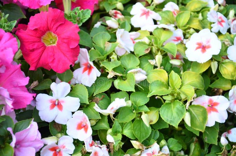 Предпосылка белых и розовых свежих цветков стоковое изображение