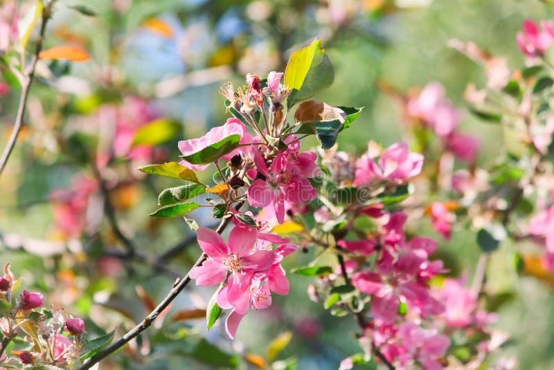 Предпосылка весны естественная с зацветая яблоней стоковое фото rf