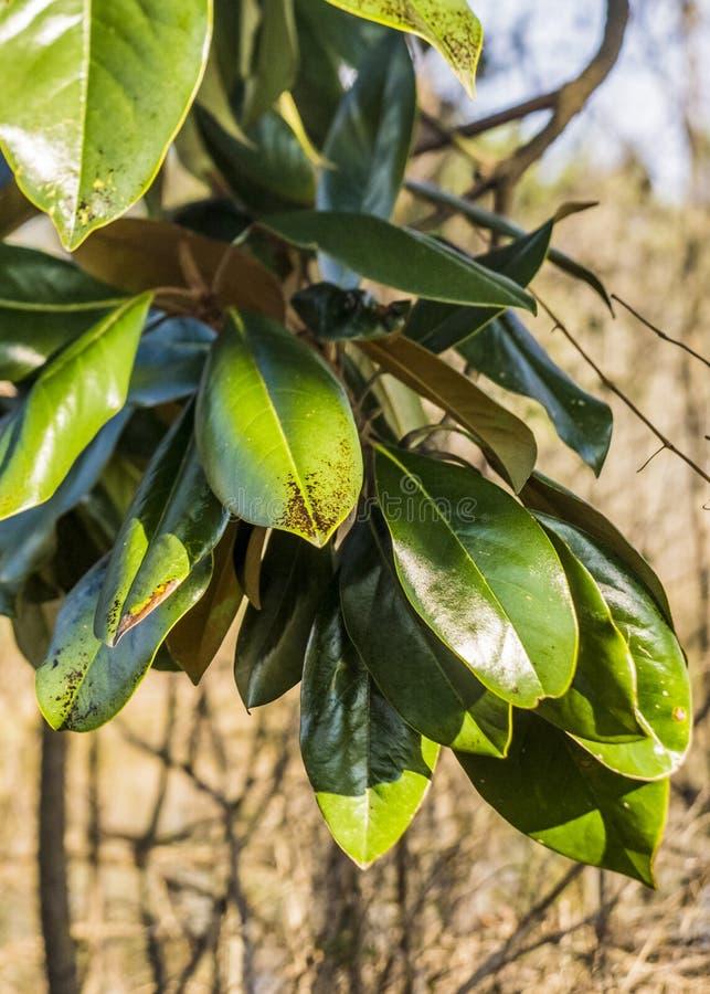 предпосылка выходит природа magnolia стоковые фото