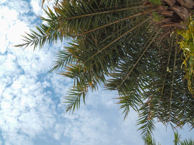 Предпосылка голубого неба пальмы кокосов стоковые фотографии rf