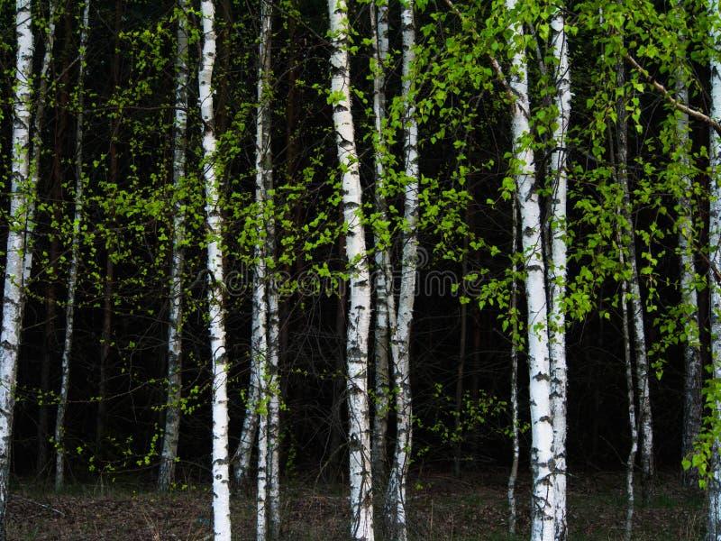 Предпосылка деревьев березы стоковые изображения