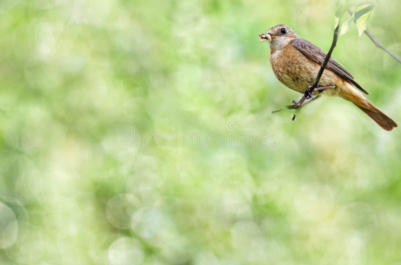 Предпосылка лета естественная при птица сидя на насекомых ветви и владений в своем клюве Фокус Bokeh селективный стоковое изображение