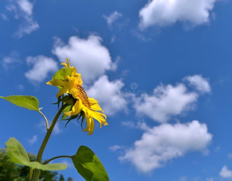 Предпосылка лета с солнцецветом над небом стоковые фото