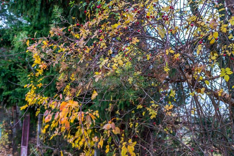 Предпосылка, елевое дерево, briar, желтые листья на осени, Словакия стоковые фотографии rf