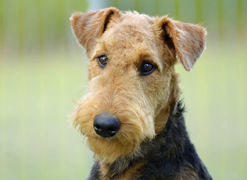 Предпосылка зеленого цвета собаки терьера Airedale портрета молодая стоковое изображение